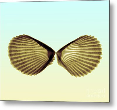 X-ray Of Angel Wing Shells Metal Print by Bert Myers