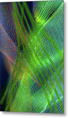 Desmids On Sphagnum Moss Metal Print by Marek Mis