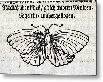 1683 Maria Merian Black Veined White Metal Print by Paul D Stewart