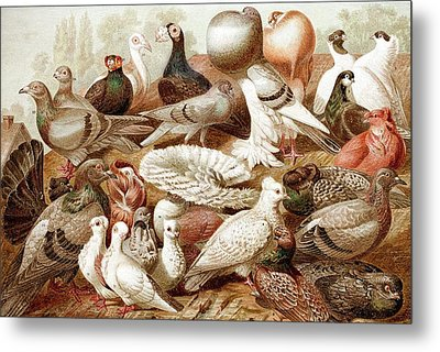 1870 Domestic Fancy Pigeon Breeds Darwin Metal Print by Paul D Stewart