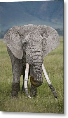 African Elephant Loxodonta Africana Metal Print by Panoramic Images
