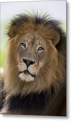 African Lion Male Metal Print by San Diego Zoo