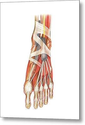 Arterial System Of The Foot Metal Print by Asklepios Medical Atlas