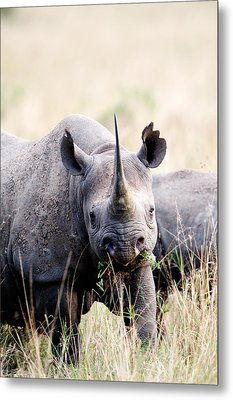 Black Rhinoceros Diceros Bicornis Metal Print by Panoramic Images