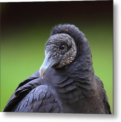 Black Vulture Portrait Metal Print by Bruce J Robinson