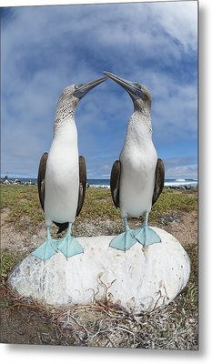 Blue-footed Booby Pair Courting Metal Print by Tui De Roy