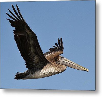 Brown Pelican In Flight Metal Print by Paulette Thomas
