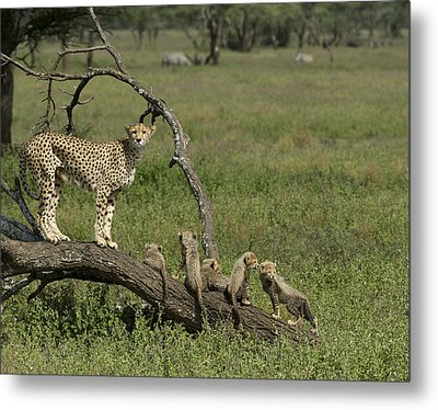 Cheetah  Acinonyx Jubatus Metal Print by Carol Gregory