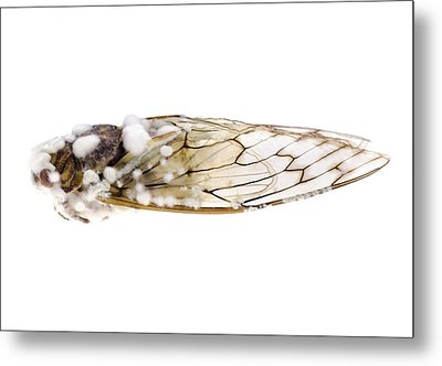 Cicada Infected With Fungus Metal Print by Science Photo Library