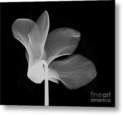 Cyclamen Flower X-ray Metal Print by Bert Myers