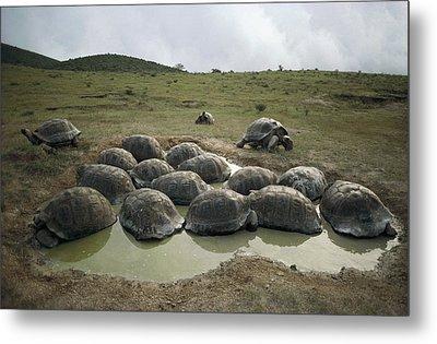 Galapagos Giant Tortoises Wallowing Metal Print by Tui De Roy