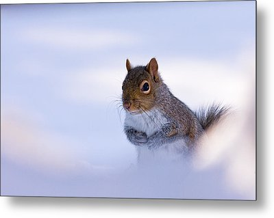 Grey Squirrel In Snow Metal Print by Jeff Sinon
