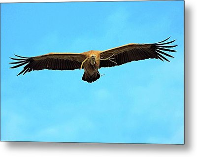 Griffon Vulture In Flight Metal Print by Bildagentur-online/mcphoto-schaef