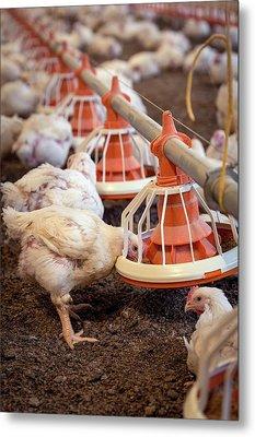 Hens Feeding From A Trough Metal Print by Aberration Films Ltd