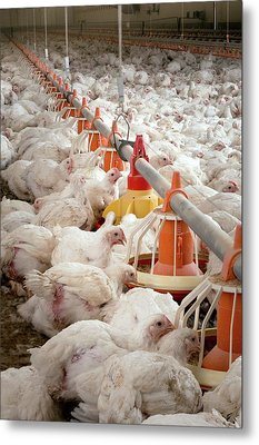 Hens Feeding From Plastic Containers Metal Print by Aberration Films Ltd