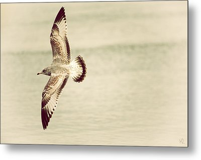 Herring Gull In Flight Metal Print by Karol Livote