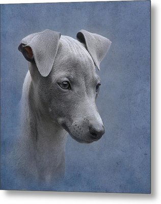 Italian Greyhound Puppy Metal Print by Angie Vogel