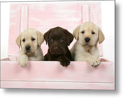 Labrador Retriever Puppies Metal Print by John Daniels