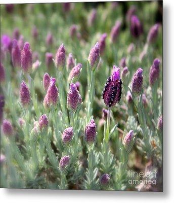 Lavender Standout Metal Print by Carol Groenen