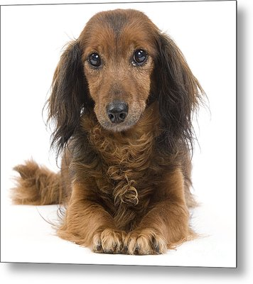 Long-haired Dachshund Metal Print by Jean-Michel Labat