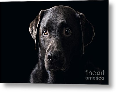Low Key Chocolate Labrador Metal Print by Justin Paget