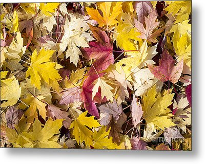 Maple Leaves Metal Print by Steven Ralser