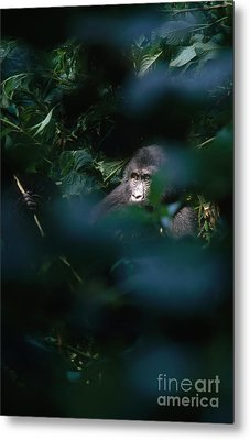 Mountain Gorilla Metal Print by Art Wolfe