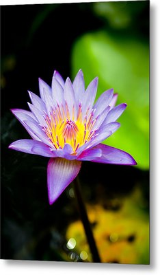 Purple Lotus  Metal Print by Raimond Klavins