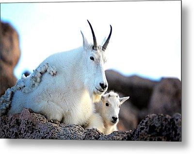 Rocky Mountain Goats 2 Metal Print by OLenaArt Lena Owens