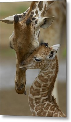 Rothschild Giraffe And Calf Metal Print by San Diego Zoo