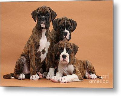 Three Boxer Puppies Metal Print by Mark Taylor