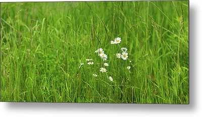 Wildflowers In A Field, Gooseberry Metal Print by Panoramic Images