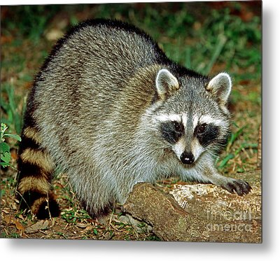 Raccoon Metal Print by Millard H. Sharp