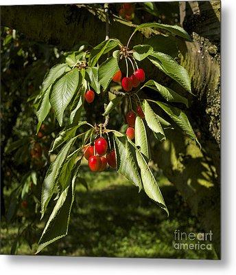 Cherry Tree Metal Print by Bernard Jaubert