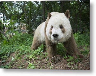 Giant Panda Brown Morph China Metal Print by Katherine Feng