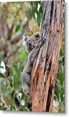 Koala (phascolarctos Cinereus Metal Print by Martin Zwick