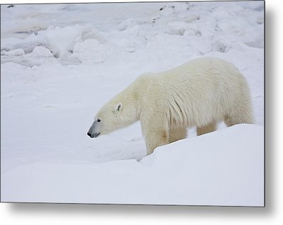 Polar Bear Ursus Maritimus Walking Metal Print by Panoramic Images