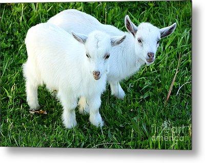 Pygmy Goat Twins Metal Print by Thomas R Fletcher