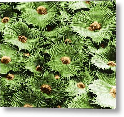 Russian Silverberry Leaf Sem Metal Print by Asa Thoresen