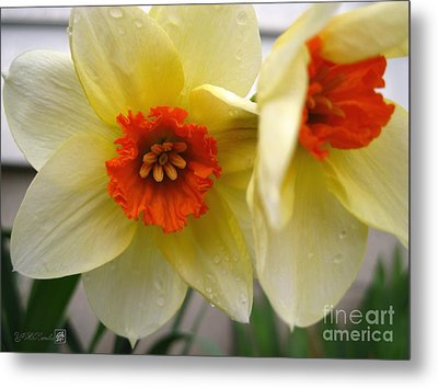 Small-cupped Daffodil Named Barrett Browning Metal Print by J McCombie
