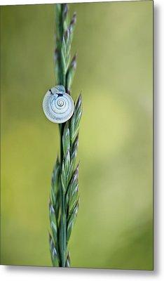 Snail On Grass Metal Print by Nailia Schwarz