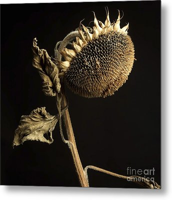 Sunflower Metal Print by Bernard Jaubert
