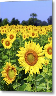 Sunflower Field Metal Print by Elena Elisseeva