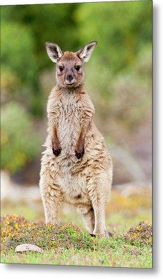 Western Grey Kangaroo (macropus Metal Print by Martin Zwick