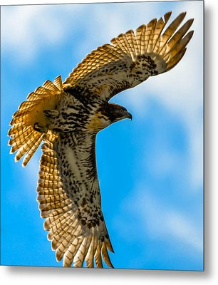Red-tailed Hawk Metal Print by Brian Stevens