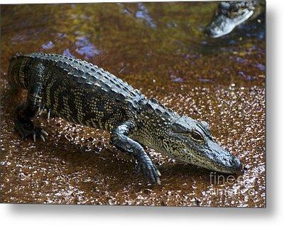 American Alligator Metal Print by Mark Newman