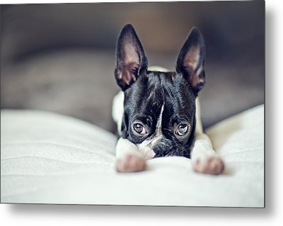 Boston Terrier Puppy Metal Print by Nailia Schwarz