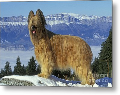 Briard Dog Metal Print by Jean-Michel Labat