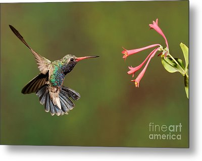 Broad Billed Hummingbird Metal Print by Scott Linstead
