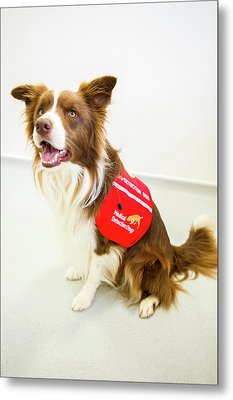 Cancer Detection Dog Training Metal Print by Louise Murray